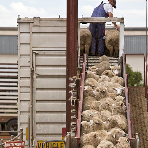 Livestock Exports Australian Good Meat